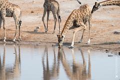 DSC_4175.JPG (manuel.schellenberg) Tags: namibia etosha animal nationalpark giraffe