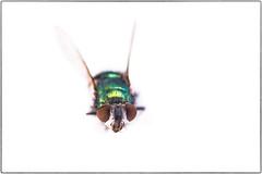Fly Macro (Chenxi Ni) Tags: studio whitebackground insect fly macro closeup eye nikon d800 tokina 100mm