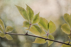 summer leaves (Weirena) Tags: weirena leaves nature quotes textured ireneweisz wallart fineartphotography summer soft seasons