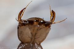 Great Diving Beetle - Dytiscus marginalis. Larvae (clanchief) Tags: dytiscusmarginalis venom greatdivingbeetle larvae beetle invertebrate pond aquatic midlothian canonmpe65mm macro