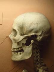 Skull (chearn73) Tags: london uk britain skull museum hornimanmuseum bones human