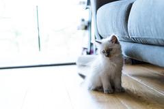 20151111-DSC_0078-3 (lachybartholomew) Tags: cat kitten ragdoll cute little fur eyes blueeyes cuddle couch indoors sun backlit