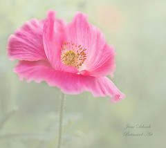 Poppy (Jane Dibnah Botanical Art) Tags: poppy pink flower flora floralart creativephotography nature macrophotography wildflower selective focus