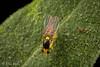 Milkweed Leaf-Miner Fly (Liriomyza asclepiadis) (aliceinwl1) Tags: acalyptratae agromyzidae arthropod arthropoda ca california diptera insect insecta leafminerflies liriomyza liriomyzaasclepiadis milkweedleafminerfly phytomyzinae santabarbaracounty asclepiadis fly locnoone viseveryone
