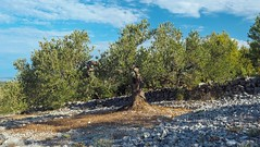The Olive Grove (sramses177) Tags: olive grove olivenhain olivetree tree olivenbaum olivier mediterranean croatia kroatien primosten agriculture landscape outdoor omd 1240mm stonewall
