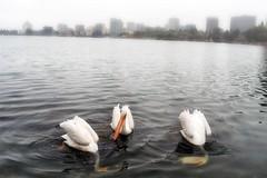 3 stooges (... Marlo Lao) Tags: marlolao lakemerritt oakland california nikond40 pelicans