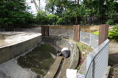 Malayan Tapir at Zoo Negara Malaysia 2016-06-17 (kuromimi64) Tags: zoonegara malaysia   zoo nationalzoo zoonegaramalaysia kualalumpur  malayantapir  tapir