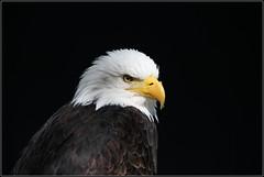 Weikopfseeadler (julia_HalleFotoFan) Tags: tambach wildparktambach oberfranken bayern greifvgel adler weiskopfseeadler