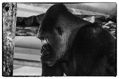 Moody (wilstony1) Tags: black white moody gorilla canon eos650d animal captive
