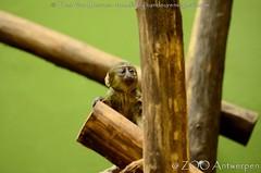 Uilenkopmeerkat - Cercopithecus hamlyni - Hamlyn's monkey (MrTDiddy) Tags: uilenkopmeerkat cercopithecus hamlyni hamlyns monkey uilkopmeerkat uil uilen uilkop uilenkop kop meerkat aap baby young jong zooantwerpen zoo anterp antwerpen
