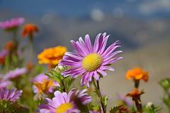 Flowers Likir Gompa (dave beere) Tags: india ladakh buddism buddah monastery gompa