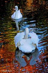 Couple de cygnes au soleil couchant (didier95) Tags: cygne coupnedecygnes oiseau etang eau reflet blanc