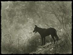 PERRO ASILVESTRADO (BLAMANTI) Tags: perros perro