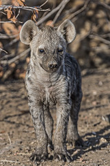s AT Hyena pup_DSC_9629 (Andrew JK Tan) Tags: 2016 hyena botswana wildlife