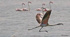 Fenicottero - Flamingo  (Phoenicopterus roseus) (Michele Fadda (Shots in Time)) Tags: canoneos70d sigma150600mmf563dgoshsm|contemporary015 sigma150600c sardinia sardegna italy flamingo fenicottero phoenicopterusroseus avifauna free nature natura faunaprotetta volatile volo bird photoscape inliberta stagnodipilo