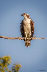 Waiting... (Islander_16) Tags: osprey nature wildlife wild canon prey preybird preybirds birdofprey birdsofprey raptors raptor predator
