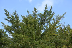 Tree / () (TANAKA Juuyoh ()) Tags: 5d markii hi high res hires resolution   chiba sakura