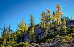 Larches (rich trinter photos) Tags: navahopeak larchtrees autumn mountans landscape navahopass