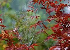 Nature's Art (Henrietta Oke) Tags: afsnikkor70200mmf28gedvrii web dew natureart nature beauty foliage tree spiderweb dewdrops naturesart nikon nikon5300 bokeh