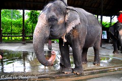 Thai Village (SleekViv) Tags: elephant thailand zoo nikon d90