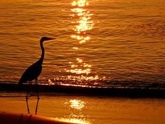 Heron at Sunset, edited (presbi) Tags: heron birds uccelli maldives gam maldive airone thegalaxy thudufushi natureselegantshots panoramafotogrfico thebestofmimamorsgroups mygearandme mygearandmepremium mygearandmebronze mygearandmesilver mygearandmegold mygearandmeplatinum mygearandmediamond allofnatureswildlifelevel1 allofnatureswildlifelevel2 allofnatureswildlifelevel3 magicmomentsinyourlifelevel2 magicmomentsinyourlifelevel1 magicmomentsinyourlifelevel3 magicmomentsinyourlifelevel4 onlythebestofflickr vigilantphotographersunite vpu2 vpu3 vpu4 vpu5 vpu6 vpu7 vpu8 vpu9 vpu10