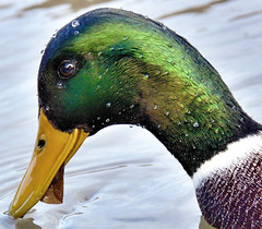 Feeding Time (Wes Iversen) Tags: nature ducks mallards chicagobotanicgarden odc ourdailychallenge clichsaturday