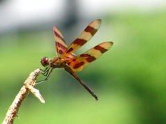 31 Days of Halloween - Day 14 (ArielSD) Tags: macro male halloween nature canon bug insect virginia ode dragonflies dragonfly insects bugs macros day14 happyhalloween odonata halloweenpennant odonate odes odonates halloweenpennantdragonfly odonae arielsd