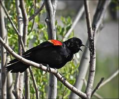 Redwing Blackbird (pjmaudsley) Tags: freedomtosoarlevel1birdphotosonly freedomtosoarlevel2birdphotosonly freedomtosoarlevel3birdphotosonly freedomtosoarlevel4birdphotosonly freedomtosoarlevel3birdsonly freedomtosoarlevel4birdsonly freedomtosoarlevel3birsdonly