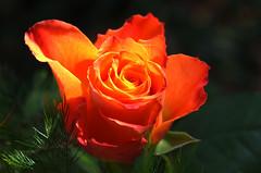 Rosen Galerie - Roses gallery - Galeria róż (arjuna_zbycho) Tags: roses flower rose austria olympus gül blume rosas e5 macrophoto زهرة kwiat rosae badenbeiwien róża rosu róże makrofoto trandafiri trandafir masterphotos الورد roselovers artisticflowers takenwithlove biosphaerenparkwienerwald gülsevenler mindigtopponalwaysontop lovelyflickr thegoldenachievement goldenachievement