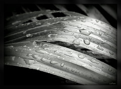 After the Rain (bill.lepere) Tags: rain droplets raindrops lakeland wetleaves novaphoto blepere