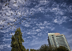 In flight (GBaker63) Tags: trees toronto building clouds fly pigeons flight stjamespark canoneos60d tgam:photodesk=sky2012
