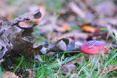 21/10.2012 - little red russula (julochka) Tags: mushroom oak acorn russula postcardtoblogcamp 366the2012edition