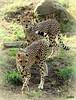 poetry in motion (judecat ( settling in for the winter)) Tags: zoo felines cheetah kira kashi bigcats nyika philadelphiazoo zoosofnorthamerica