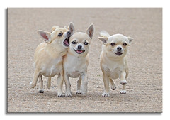 ~ My Girls ~ (Ruth S Hart) Tags: 3 chihuahua dogs exercise poppy eddie showcase mera projectflickr digitalcameraclub sweetdogs countyofessex ldlportraits nikond5100 elitechihuahuas chaldersbrooksunbeam angcherishdancingdiva aldersbrookmera