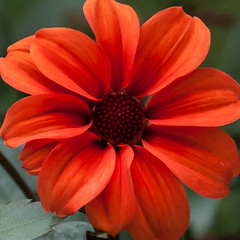 Fire (Steve-h) Tags: park dahlia ireland dublin orange flower green art tourism nature beauty canon garden eos grey design petals europe pretty zoom blossom maroon gorgeous curves curls tourists telephoto handheld recreation horticulture aerlingus borders spotmetering ststephensgreen aperturepriority steveh canonef100400mmf4556lisusm 100mm400mm canoneos5dmkii canoneos5dmk2 october2012 rememberthatmomentlevel4 rememberthatmomentlevel1 rememberthatmomentlevel2 rememberthatmomentlevel3 rememberthatmomentlevel7 rememberthatmomentlevel9 rememberthatmomentlevel5 rememberthatmomentlevel6 rememberthatmomentlevel8 rememberthatmomentlevel10