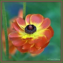 ranunculus (loobyloo55) Tags: flower canon flora floraandfauna flowerthequietbeauty