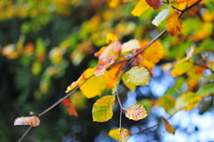 24/10.2012 - autumn (julochka) Tags: autumn fall colors leaves yellow blogged beech postcardtoblogcamp 366the2012edition