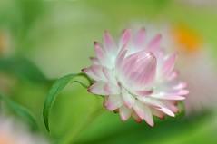 If There's Love, Just Feel It (Anna Kwa) Tags: pink macro art daisies singapore thegalaxy flowerdome mimamorflowers panoramafotográfico mygearandme gardenbythebay bestevercompetitiongroup