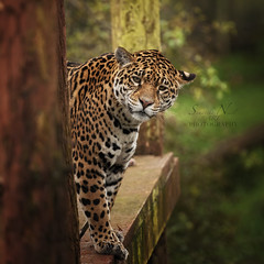 Jaguar Playing Peek-a-Boo! (Samantha Nicol Art Photography) Tags: portrait nature animal cat square boo peek jaguar samantha nicol