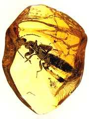Baltic amber (45 myo) - rare rove beetle (Staphylinidae,  Paederinae) (leth.damgaard) Tags: beautiful closeup museum bug insect poster fossil amber ancient perfect pics unique postcard familie beetle picture diversity insects baltic bugs research postcards buy mineral dna rove creatures biology insekt rare bursztyn jantar description extinct anders raf antennae fossils eocene bernstein ambre arthropod rav coleoptera ámbar inclusion leth gintaras insekter 琥珀 staphylinidae dzintars barnsteen fossilised янтарь borostyán parasitoid millimetre inklusion damgaard amberinclusions merevaik meripihka كهرمان paederinae amberinsect amberfossil succinicacid кехлибар wwwamberinclusionsdk бурштын andersdamgaard sjælden ћилибар
