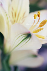 In & Out (dhmig) Tags: flowers light italy stilllife milan flower macro green nature colors beauty yellow closeup petals spring nikon dof secret details softness happiness naturallight indoor center fresh stamens stamen bloom opening buds bud alstroemeria freshness springtime lookinside 50mmf28 softcolors fragility nikond7000 dhmig dhmigphotography