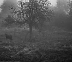 (Yiannis Karagiannis) Tags: horse white black nature fog blackwhite nikon atmospheric deadnature kleisoura  d7k   d7000  18105vr   variko aspromauro