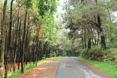 Hutan Pinus, Gunung Bunder