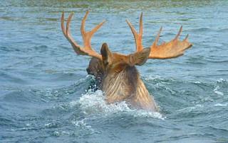 Alaska Moose and Bear Hunt - Dillingham 11
