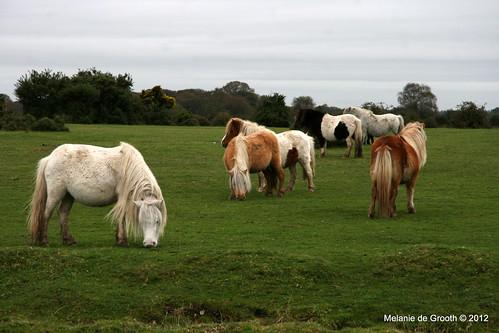 Shetland Ponies 2