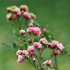 Roselline () Tags: pink flowers roses rose photography photo foto photographer photos bokeh rosa fotografia fiori stefano fotografo trucco zush roselline 70200vrii stefanotrucco