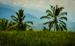 Rice field with palm trees (Fredde Nilsson) Tags: bali mountain field indonesia rice palmtree ricefield munduk