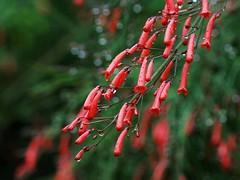 Russelia equisetiformis (Mauricio Mercadante) Tags: red vermelho plantaginaceae flordecoral russeliaequisetiformis coralplant firecrackerplant russelia russélia coralfountain taxonomy:binomial=russeliaequisetiformis