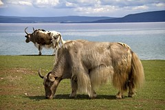 Lunchtime (bag_lady) Tags: lake water animals landscape asia view cows lakeside mongolia yaks grazing mongolian bluewaterlake earthasia northernmongolia khovsgulnuur