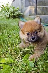 The bear relaxing in the sun (A&A Photography Services) Tags: bear dog baby cute puppy prime nikon dof little bokeh pomeranian ais d3100